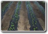 tuberia-moreno-riego-agricola-02-agroplasticos-acolchado-mulching-solarizar